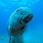 Dugong Marsa Alam Red Sea Egypt