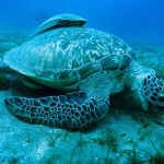 Green Turtle Marsa Alam Red Sea Egypt