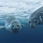 Weddell Seal Terre Adelie Antarctic