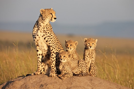 AFRICAN CATS photo